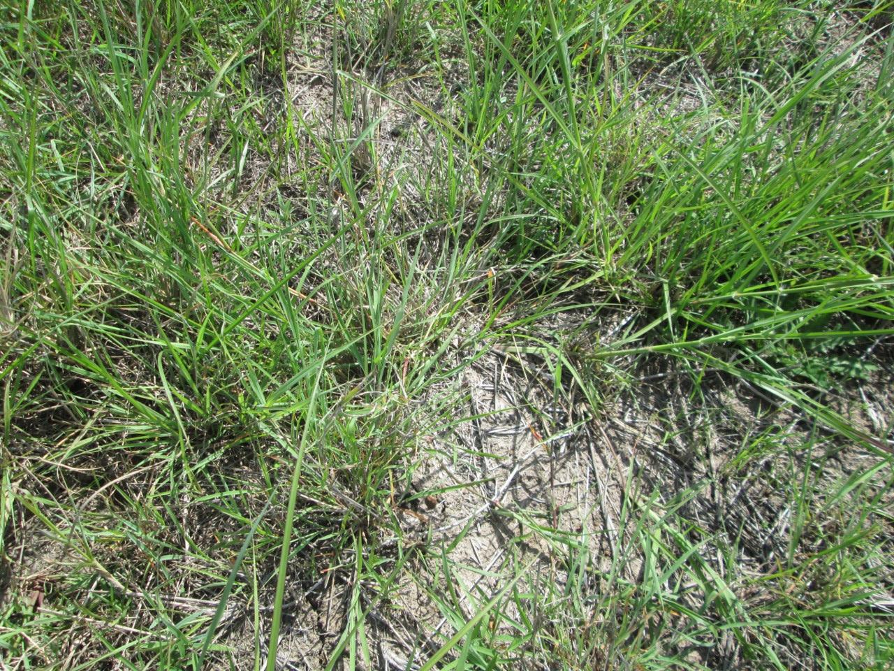 Low density grass